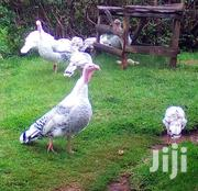 Turkey Hen | Livestock & Poultry for sale in Kiambu, Kikuyu