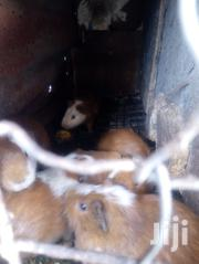 Brown And White Healthy Male Guinea Pigs For Sell | Other Animals for sale in Nairobi, Uthiru/Ruthimitu