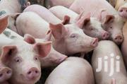 Piglets For Sale | Livestock & Poultry for sale in Nairobi, Uthiru/Ruthimitu