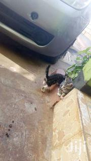 Pure South African Breed Kittens   Cats & Kittens for sale in Uasin Gishu, Kapsoya