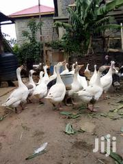 Livestock & Poultry in Molo for sale ▷ Prices on Jiji co ke ▷ Buy