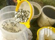 Fingerlings On Sale Tilapia | Building & Trades Services for sale in Nyeri, Karatina Town