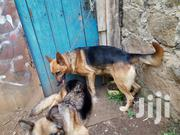 Adult Male Purebred German Shepherd Dog | Dogs & Puppies for sale in Kiambu, Ruiru