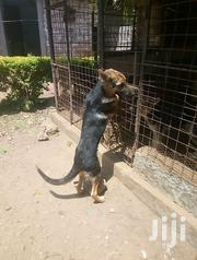 Young Male Purebred German Shepherd Dog | Dogs & Puppies for sale in Kilifi, Malindi Town