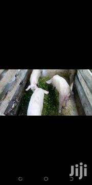 Pigs For Sale | Livestock & Poultry for sale in Murang'a, Ithanga