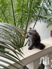 Baby Female Purebred Persian | Cats & Kittens for sale in Nairobi, Nairobi Central