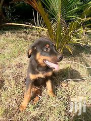 Baby Male Purebred Rottweiler | Dogs & Puppies for sale in Kwale, Kinondo