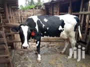 2 Dairy Cows For Sale In Githunguri. | Livestock & Poultry for sale in Kiambu, Githunguri