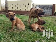 Young Male Purebred Boerboel | Dogs & Puppies for sale in Nakuru, Njoro
