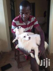 Chiwawa Japanis Spit 6 | Dogs & Puppies for sale in Siaya, Siaya Township