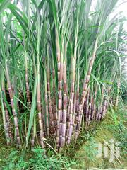 Sugercane | Feeds, Supplements & Seeds for sale in Machakos, Kithimani
