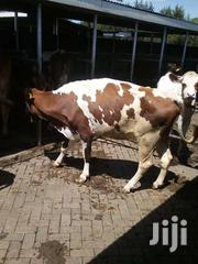 Dairy Cow On Sell.   Livestock & Poultry for sale in Trans-Nzoia, Sitatunga