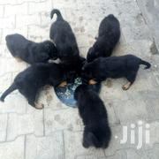 Young Male Purebred Rottweiler | Dogs & Puppies for sale in Nairobi, Roysambu