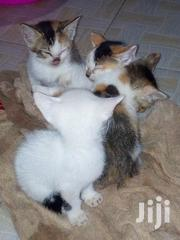 Baby Male Mixed Breed | Cats & Kittens for sale in Nairobi, Kangemi