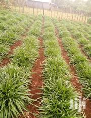 Brachiaria Seeds And Splits   Feeds, Supplements & Seeds for sale in Nyeri, Karatina Town