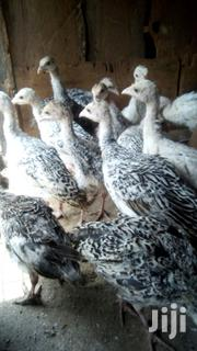 2 Months Turkey Poults | Livestock & Poultry for sale in Meru, Maua