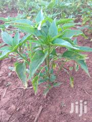 Chilli Seeds   Feeds, Supplements & Seeds for sale in Trans-Nzoia, Kiminini