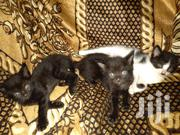 Young Female Purebred Mongrel (No Breed) | Cats & Kittens for sale in Kajiado, Ongata Rongai
