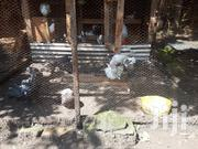 Pigeons For Sale | Birds for sale in Kajiado, Ongata Rongai