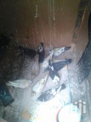 Pigeons All Colours And Gender | Birds for sale in Machakos, Athi River