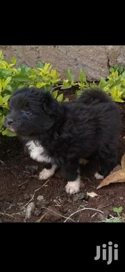 Young Male Purebred Black Russian Terrier   Dogs & Puppies for sale in Nairobi, Nairobi Central