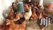 Kuroiler Hens Available | Livestock & Poultry for sale in Machakos, Athi River