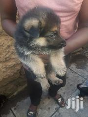 Young Male Purebred German Shepherd Dog | Dogs & Puppies for sale in Kisumu, Central Kisumu