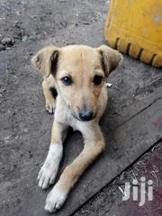 Baby Male Mixed Breed German Shepherd Dog | Dogs & Puppies for sale in Kajiado, Ongata Rongai