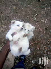 Japanese Spitz Puppy And Other Dog Breed Like Pomeranian For Sale | Dogs & Puppies for sale in Nairobi, Karen