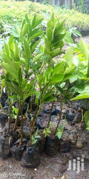 Seedless Oranges Seedlings | Feeds, Supplements & Seeds for sale in Nairobi, Nairobi Central