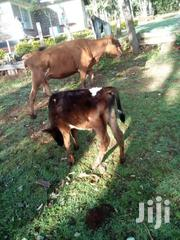 Red Arshire | Livestock & Poultry for sale in Nandi, Kapsabet