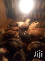 Kienyeji Imroved Chicks Vaccinated | Livestock & Poultry for sale in Nairobi, Zimmerman