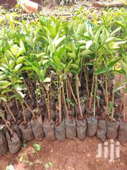 Pixi Orange Seedlings | Feeds, Supplements & Seeds for sale in Murang'a, Gaichanjiru
