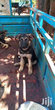 German Shepherd | Dogs & Puppies for sale in Machakos, Kangundo North