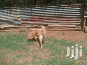 Bichon/Poodle Breed | Dogs & Puppies for sale in Uasin Gishu, Kapsaos (Turbo)