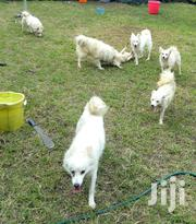 Adult Male Purebred Maltese | Dogs & Puppies for sale in Nairobi, Parklands/Highridge