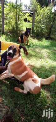 Young Female Mixed Breed Boerboel | Dogs & Puppies for sale in Meru, Igoji West