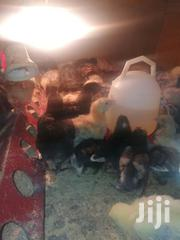 2weeks Old Improved Kienyeji Chicks | Livestock & Poultry for sale in Nairobi, Komarock