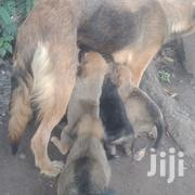 Young Female Mixed Breed German Shepherd Dog | Dogs & Puppies for sale in Kisumu, Central Kisumu