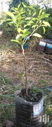 Muthakwa Grafted Large Tamarillo Fruit Trees For Sale | Feeds, Supplements & Seeds for sale in Nairobi, Ruai