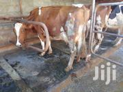 High Yilders With Over 25 Litres Of Milk Daily | Livestock & Poultry for sale in Kiambu, Githunguri