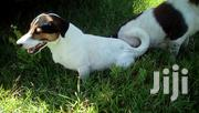 Adult Male Purebred Jack Russell Terrier | Dogs & Puppies for sale in Nairobi, Lavington