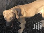 Young Female Purebred Boerboel | Dogs & Puppies for sale in Nairobi, Kasarani