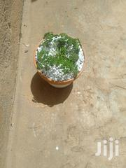 Potted Parsley Herb With Saucer | Garden for sale in Kajiado, Ngong