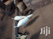 White Vaccinated Peacock | Birds for sale in Mombasa, Mtongwe