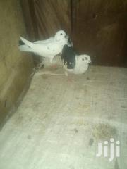 Dove And Pigeons | Birds for sale in Nairobi, Baba Dogo