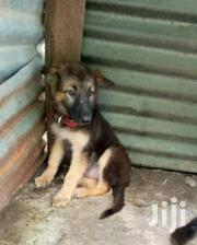 Young Male Purebred German Shepherd Dog | Dogs & Puppies for sale in Kisumu, Ahero