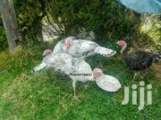 Young Turkeys | Livestock & Poultry for sale in Laikipia, Thingithu