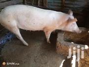 Gestating Sows, Sow And Its 14 Piglets | Livestock & Poultry for sale in Nakuru, Bahati