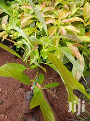 Hass/Fuete Avocados Seedlings | Feeds, Supplements & Seeds for sale in Murang'a, Township G